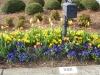 tulips_03